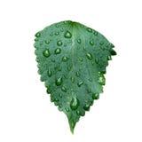våt leaf Royaltyfria Bilder