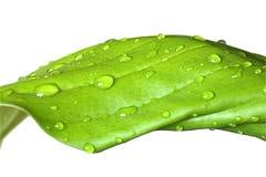 våt leaf Arkivbild