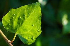 våt leaf Royaltyfri Fotografi