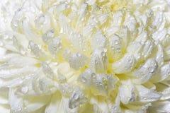 våt makro för knoppchrysanthemumcloseup arkivfoton