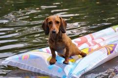 Våt miniatyrtaxhund i vatten Arkivfoton