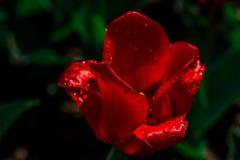 Våt röd tulpan för singel Arkivfoton
