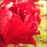 våt redrose Royaltyfria Bilder