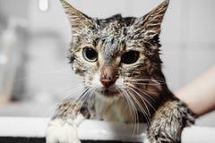 Våt ren katt i badrum arkivbild