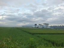 Våt risfält royaltyfria foton