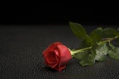 våt rose serie Royaltyfri Fotografi