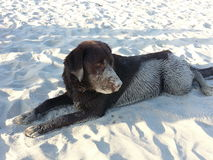 Våt sandig hund Arkivfoton