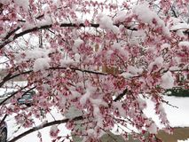 Våt snö för skurkroll och fryste blommor i mars Royaltyfria Bilder