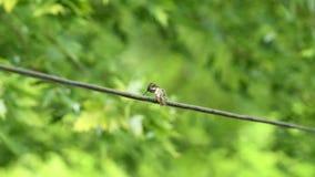 Våt surrfågel som ansar på elektrisk tråd lager videofilmer