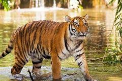 våt tiger royaltyfri fotografi