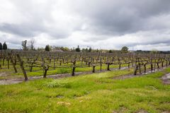 Våt vingård efter stormar Sonoma Kalifornien för vårregn royaltyfria foton