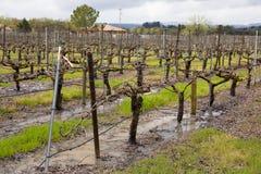 Våt vingård efter stormar Sonoma Kalifornien för vårregn royaltyfria bilder