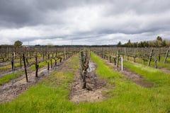 Våt vingård efter stormar Sonoma Kalifornien för vårregn arkivbild