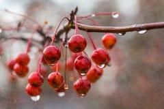 Våta bär på lemmen i regn Arkivfoton