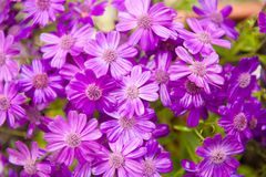 Våta blomstra purpurfärgade gerberablommor Fotografering för Bildbyråer