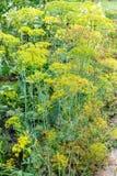Våta dillväxter i trädgård efter regn i sommar Royaltyfria Foton