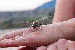Våta Dragon Fly Arkivbilder