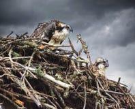 Våta fiskgjusefågelungar i vått regn för rede i tillbaka jordning som ser olycklig royaltyfri bild
