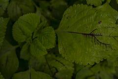Våta gröna sidor med synliga vattensmå droppar fotografering för bildbyråer