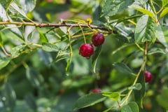 Våta grupper av röda körsbärsröda bär med regndroppar på en grön bakgrund för suddighet i en trädgård i sommar arkivbilder
