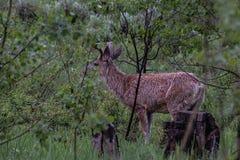 Våta hjortar i skog arkivbilder