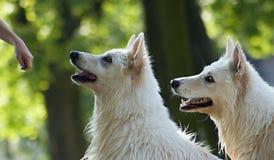 våta hundar Arkivfoto