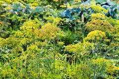 Våta inflorescences av dill i trädgård efter regn Royaltyfri Bild