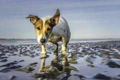 Våta Jack Russell på stranden på lågvatten Royaltyfri Fotografi