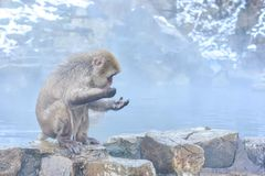 Våta japanska Macaques i snöapa parkerar Royaltyfri Fotografi