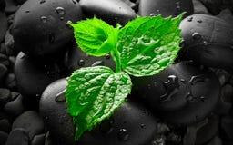 Våta kiselstenar med groddbakgrund Fotografering för Bildbyråer