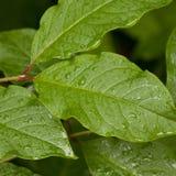 våta leaves Arkivbilder
