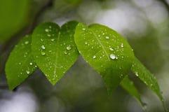våta leaves Royaltyfria Bilder