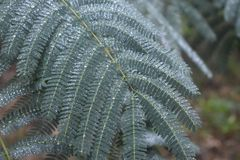 Våta mimosaträdsidor arkivbild