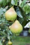 våta pears Fotografering för Bildbyråer