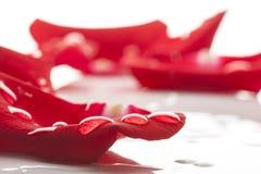 Våta röda roskronblad Arkivbild