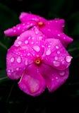 Våta rosa färger Royaltyfri Fotografi