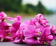 Våta rosa orkidér Royaltyfri Fotografi