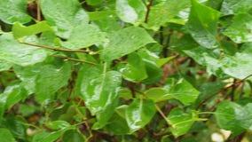 Våta sidor av Syringabusken i höst regnar lager videofilmer
