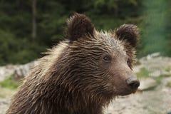 Våta Teddy Bear Arkivfoton