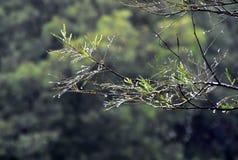 Våta trädfilialer i skogen med vattendroppar och suddig bakgrund Royaltyfri Bild