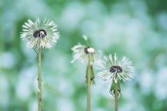 Våta vita blommor av fluffiga maskrosor efter regnet Fotografering för Bildbyråer