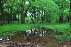 Våtmark-Cinnamomum camphora Arkivbilder