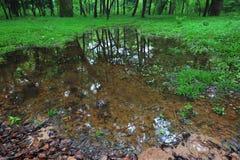Våtmark-Cinnamomum camphora Royaltyfria Foton