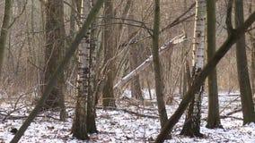 Våtmarkfloodplainskogen som täcktes med den insnöade vintern, landskap av Poodri, skyddade landskapområde som mycket var trevligt stock video