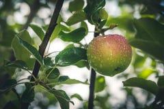 vått äpple Arkivfoto