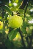 vått äpple Royaltyfri Foto