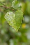 Vått blad för björkträd Royaltyfria Bilder