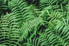 Vått fuktigt för grön ormbunkeväxt i tropisk regnskog arkivfoton