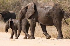 Vått gå för för elefantko och kalv över ett torrt vägskydd Arkivfoton