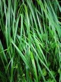 vått gräs Arkivbild